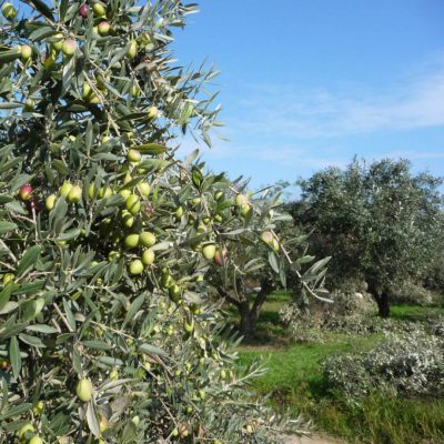 DER DORFLADEN Ess-Oliven von Nikis Goods