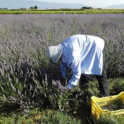 Produkte von Phytosophia bei DER DORFLADEN - Lavendelernte