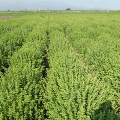 Produkte von Phytosophia bei DER DORFLADEN - Oreganofeld